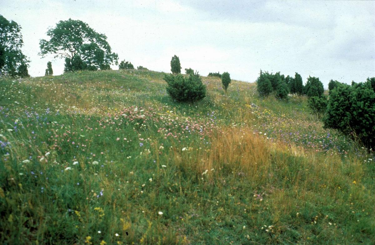 Valsgärde gravfält, Gamla Uppsala 1987