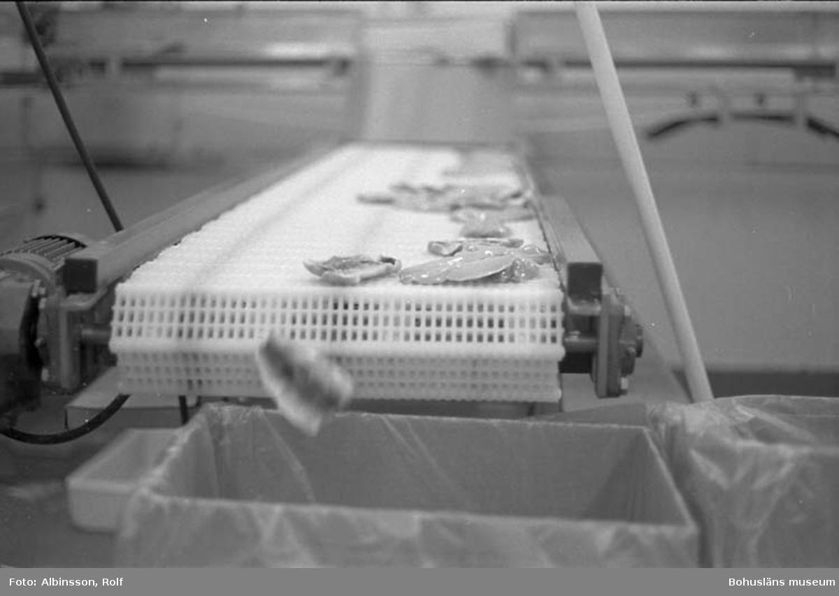 """Enligt fotografens noteringar: """" ...ner i en kartong med plastpåse. Kartongen hamnar i fryslager och varan kan sedan gå ut till storkök och restauranger, där strömmingsflundrefiléerna anrättas."""" (AC. Fortsättning från bild 210). Fototid: 1996-01-19."""