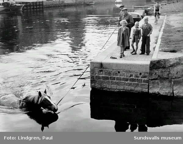 Häst badas i Selångersån efter arbetsdagens slut. Hästen heter enligt uppgift Apollo.