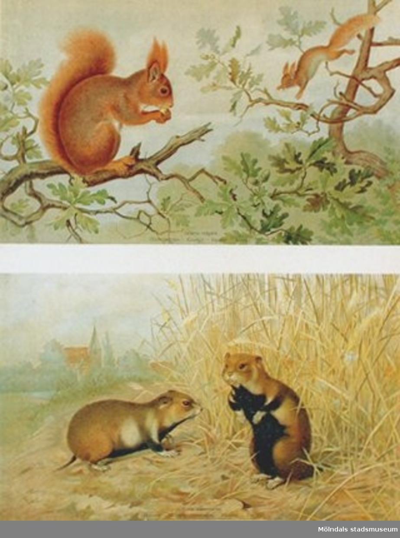 Biologi.Ekorre, hamster.