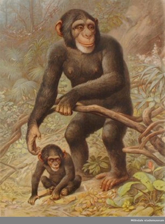 Biologi.Schimpans.
