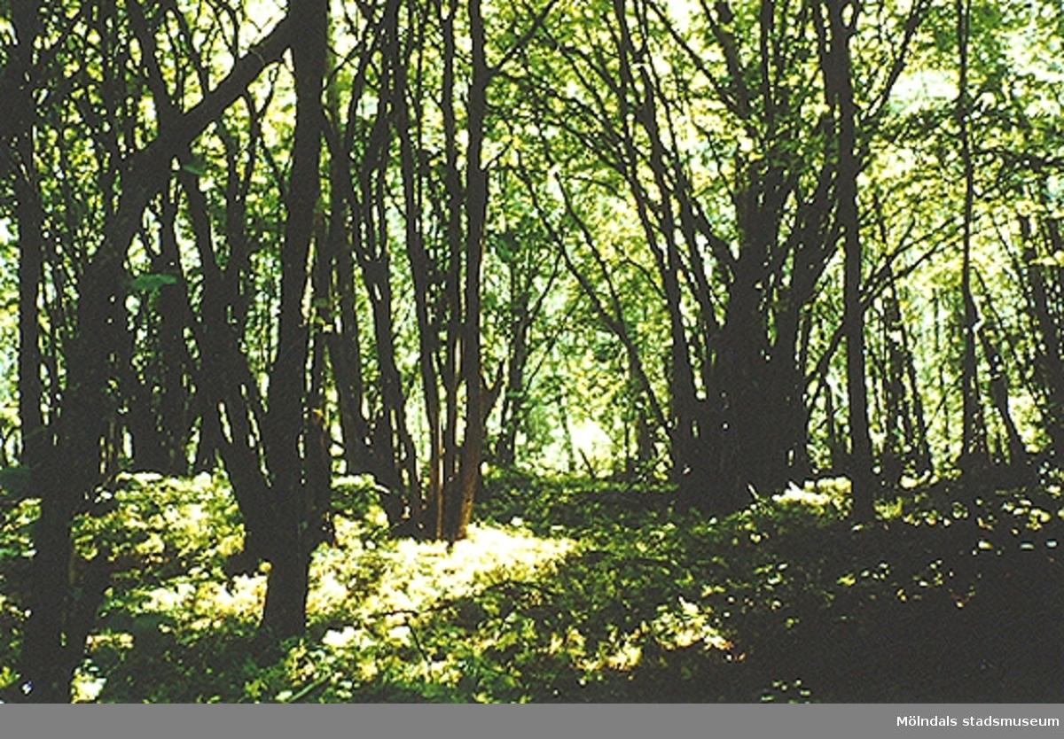 En skogsdunge i Livered. Okänt årtal.