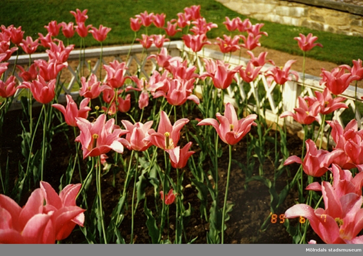 En blomsterrabatt med tulpaner.
