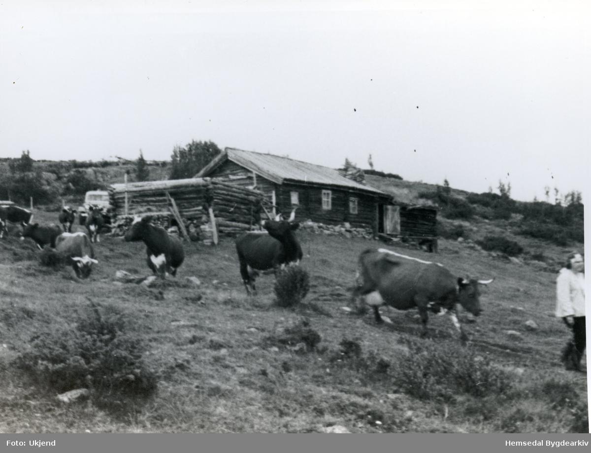 Heimflytting frå Ålruststølen i Hemsedal.  Fotografiet er teke på Ålrustsølen, 52.5.  Stølsbu. Telemarkskyr