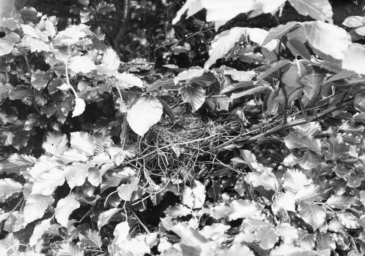 Bo av Stenknäck, Coccothraustes vulgaris, 6 juni 1909, nära Malmö.