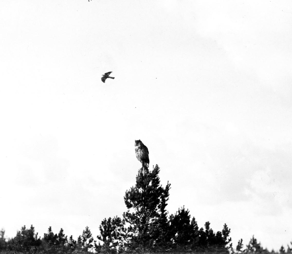 Sparvhök (Astur nisus). Över uv 7 oktober 1907