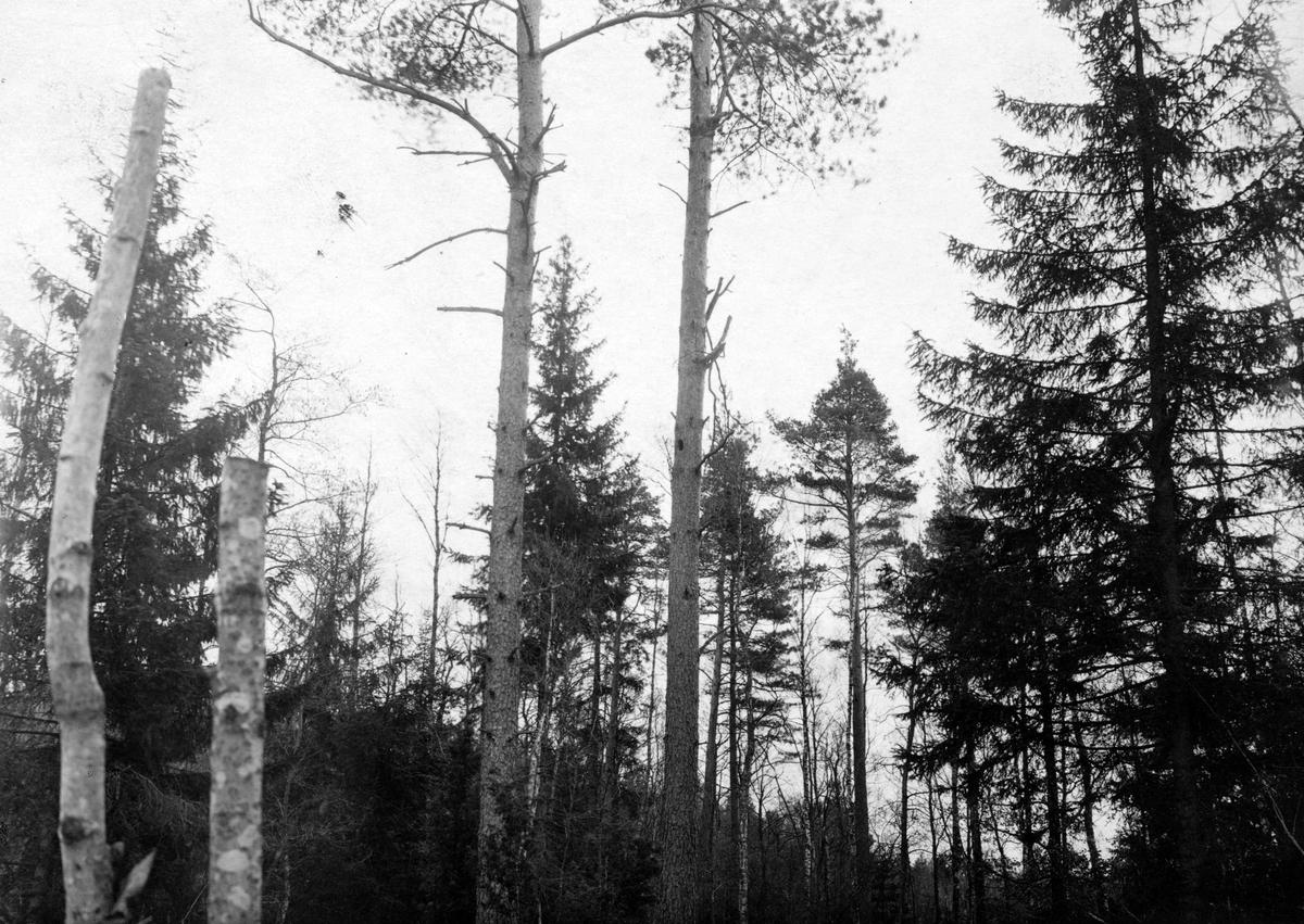 Boplats för spillkråka, Picus martius, april 1918