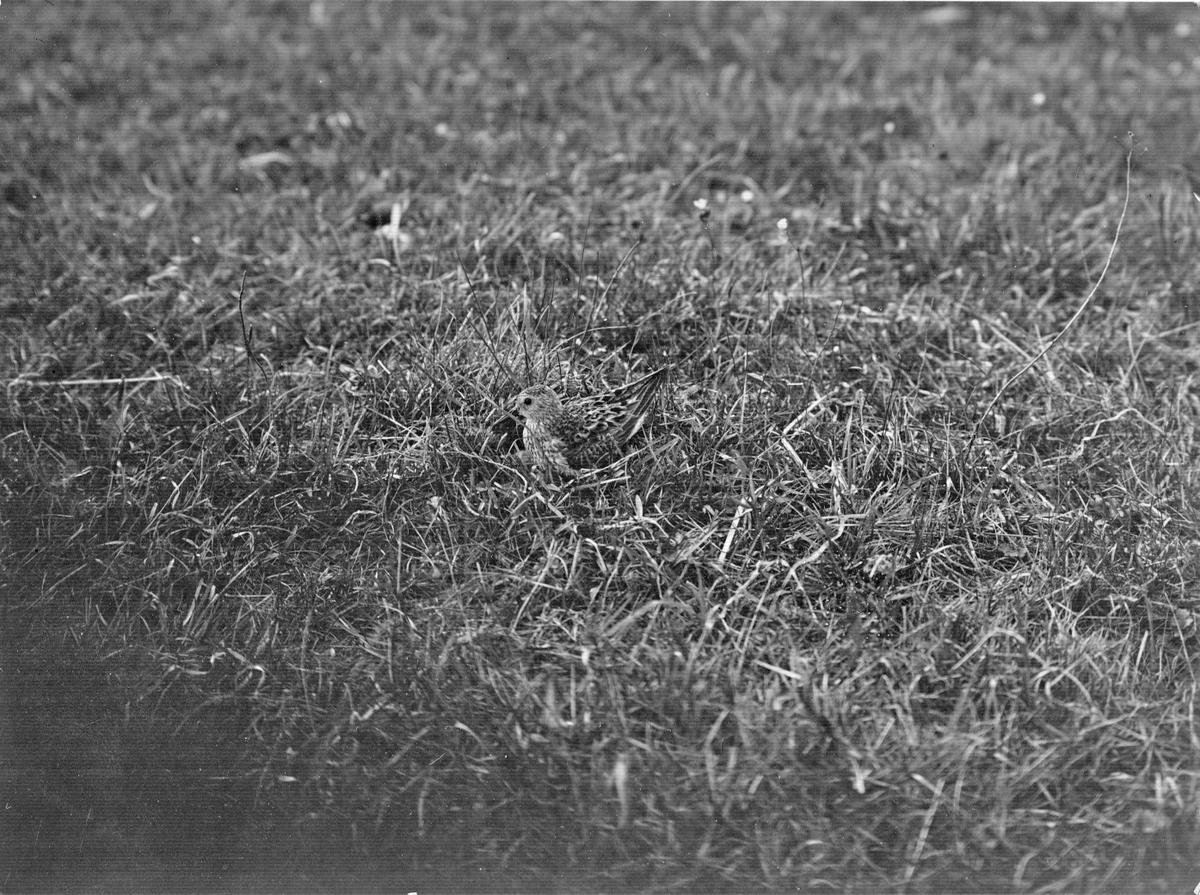 Kärrsnäppa, Tringa alpina, över ägget.  Klagshamn,  maj 1913 .           sek.1/100  Bl. ________                   eftermiddag, något mulet