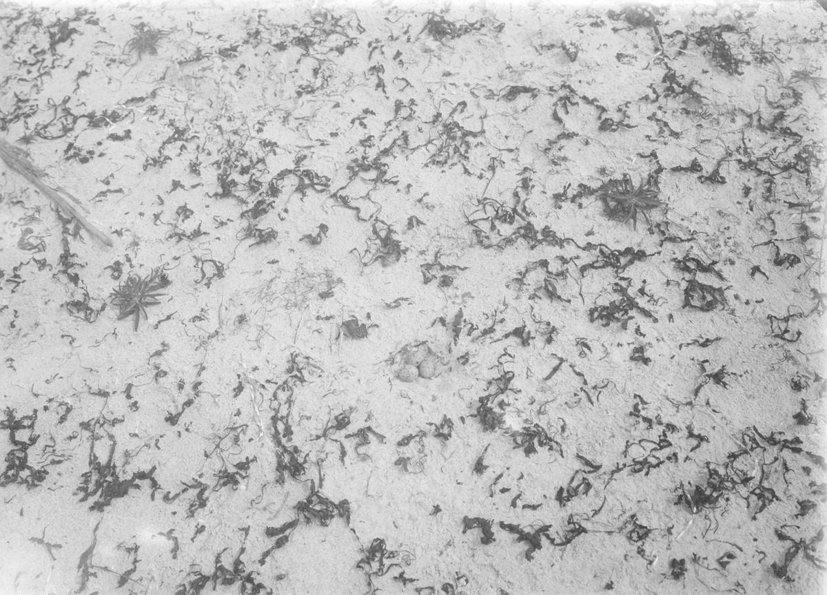 Boplats för småtärna (sterna minuta). 11/6-1908