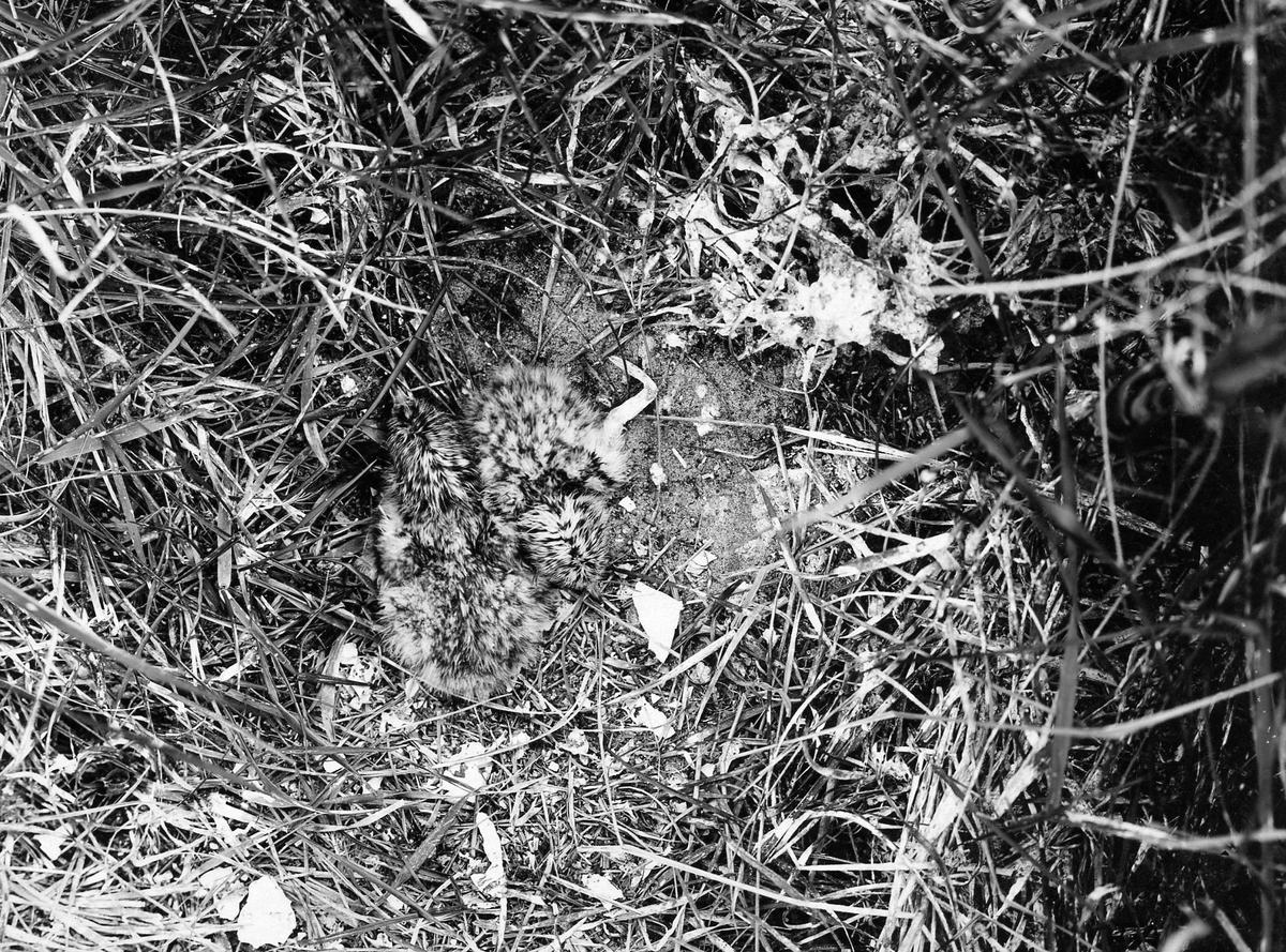 Nykäckta ungar av Kentsk tärna (Sterna cantiaca)