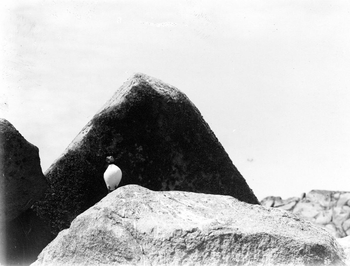 Lunnefågel (Mormon arcticus).