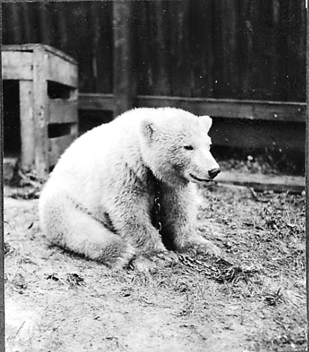1 levende bjørn sitter på bakken.