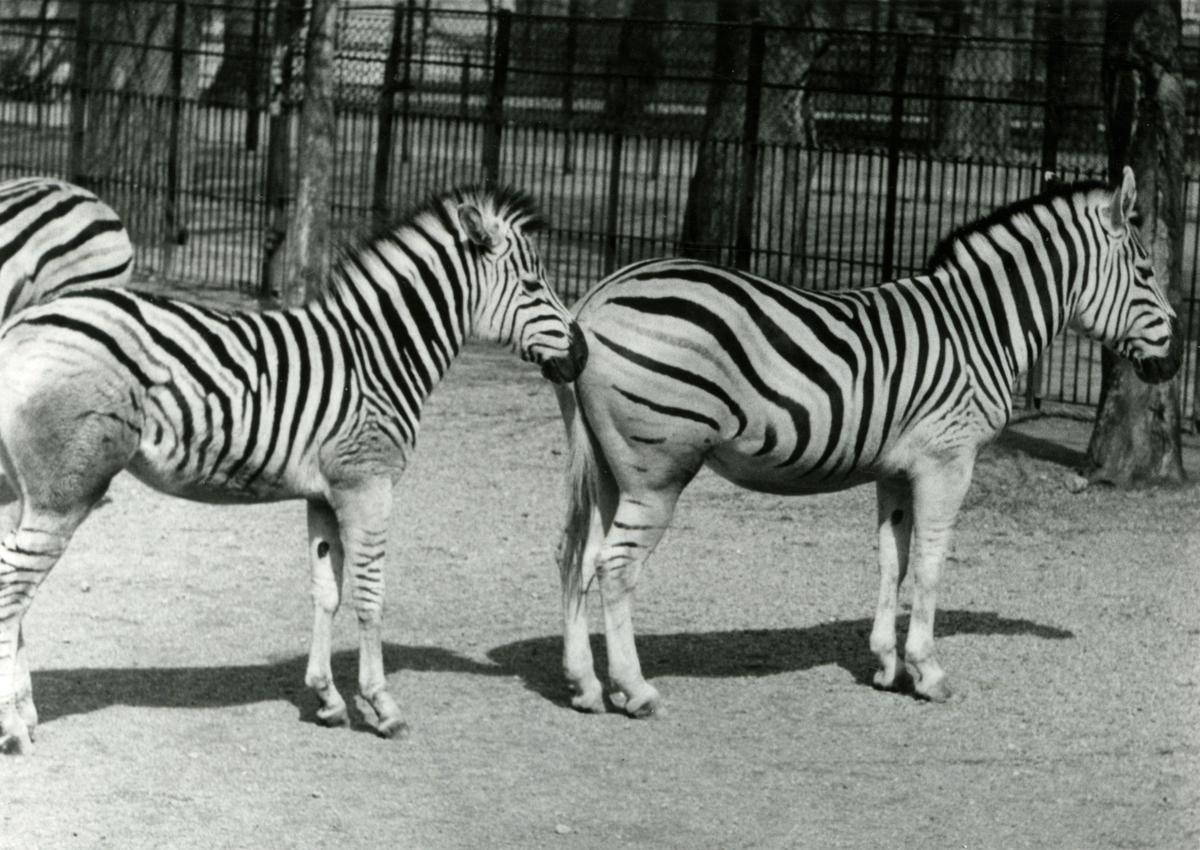 Zebraer. - T/S 'Kingsville' (b.1956, Lithgows Ltd., Port Glasgo)  på Filippinene.