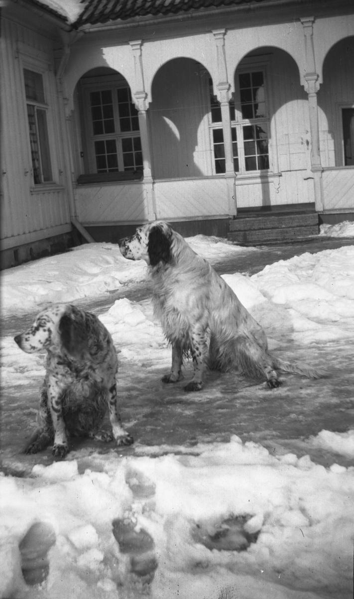 Fotoarkivet etter Gunnar Knudsen. To hunder av rasen Engelsk Setter på Borgestad gård fotografert.