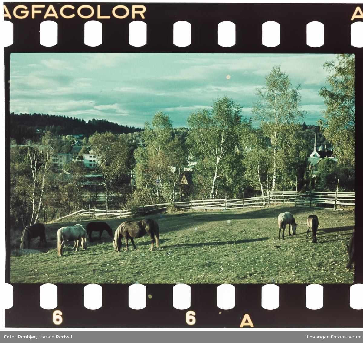Beitende hester på Brusve.