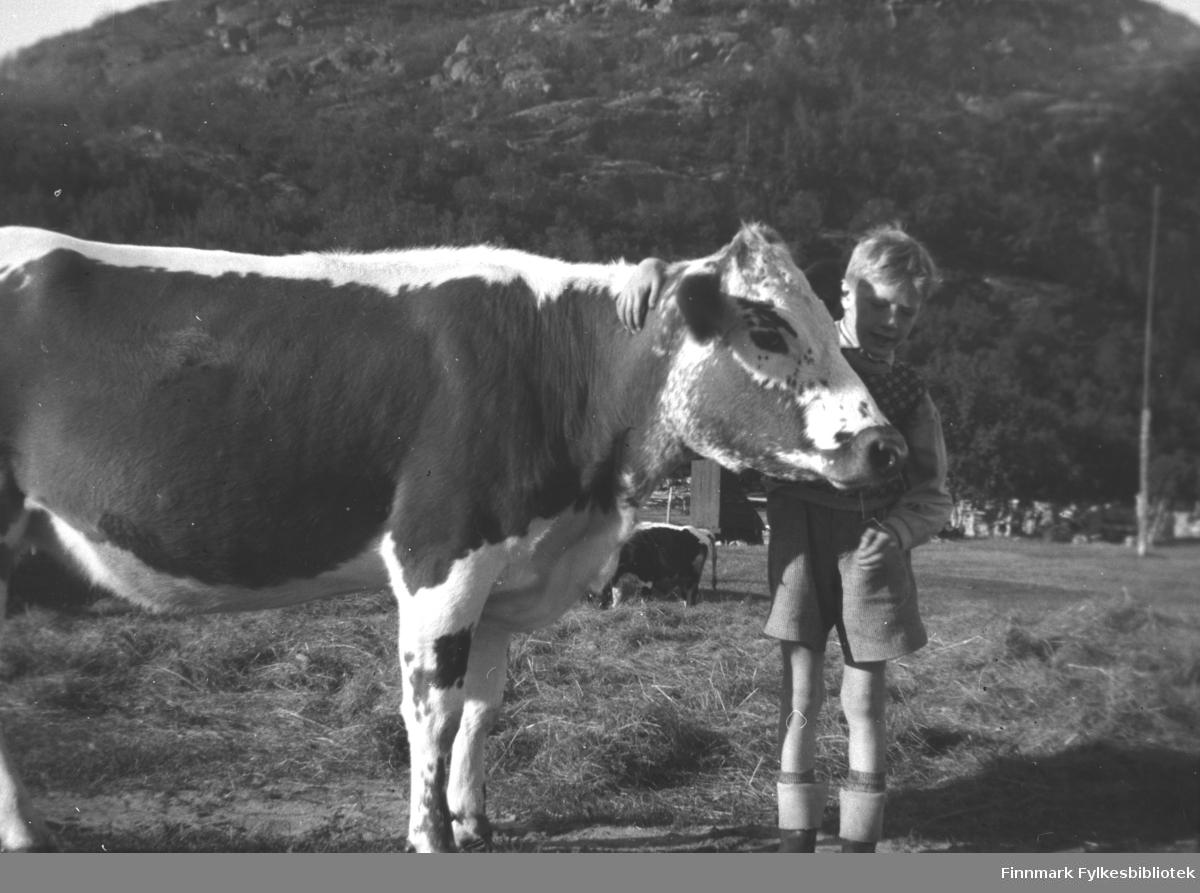 Per Olsen med en av kuene på Mikkelsnes, antakelig ca. 1950-1952