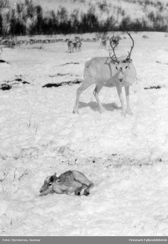 Simla Aaldo har akkuart født en kalv som ligger i snøen. Stedet er ukjent.