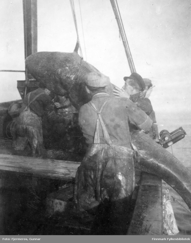 """En Håkjerring er nesten halt over rekka på båten """"Varfjell"""". Flere menn hjelper til med å få den på bordet. Mennene er ukjente."""