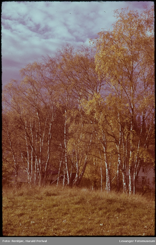 Bjørketrær i høstfarger på Korenhaugen.