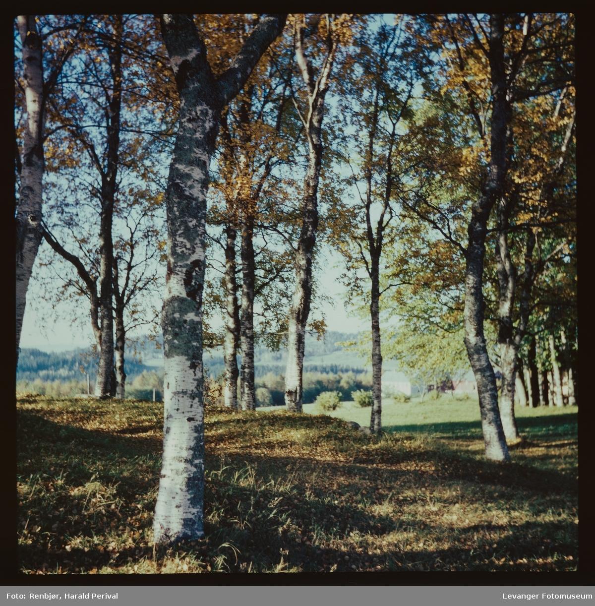 Bjørketrær i Okkenhaug.