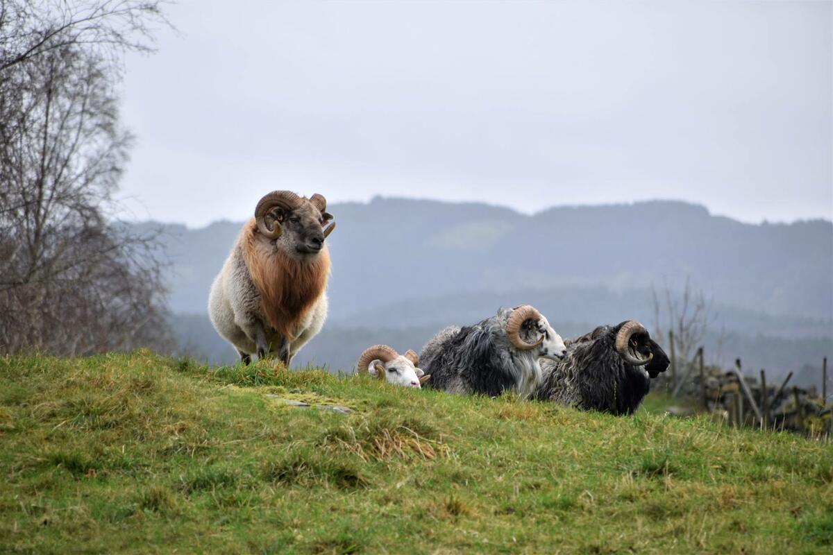 vêrar med horn i kystlandskap (Foto/Photo)