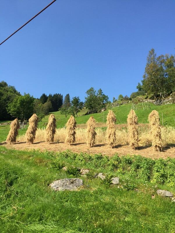 kornstaur i sommarsleg landskap (Foto/Photo)