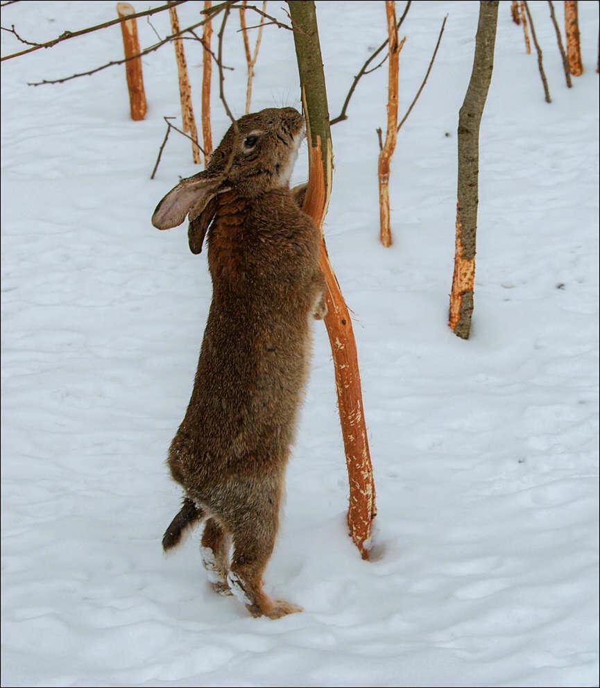 Hare Lepus timidus gnager av bark på trærne. / Hare Lepus timidus gnager av bark på trærne.