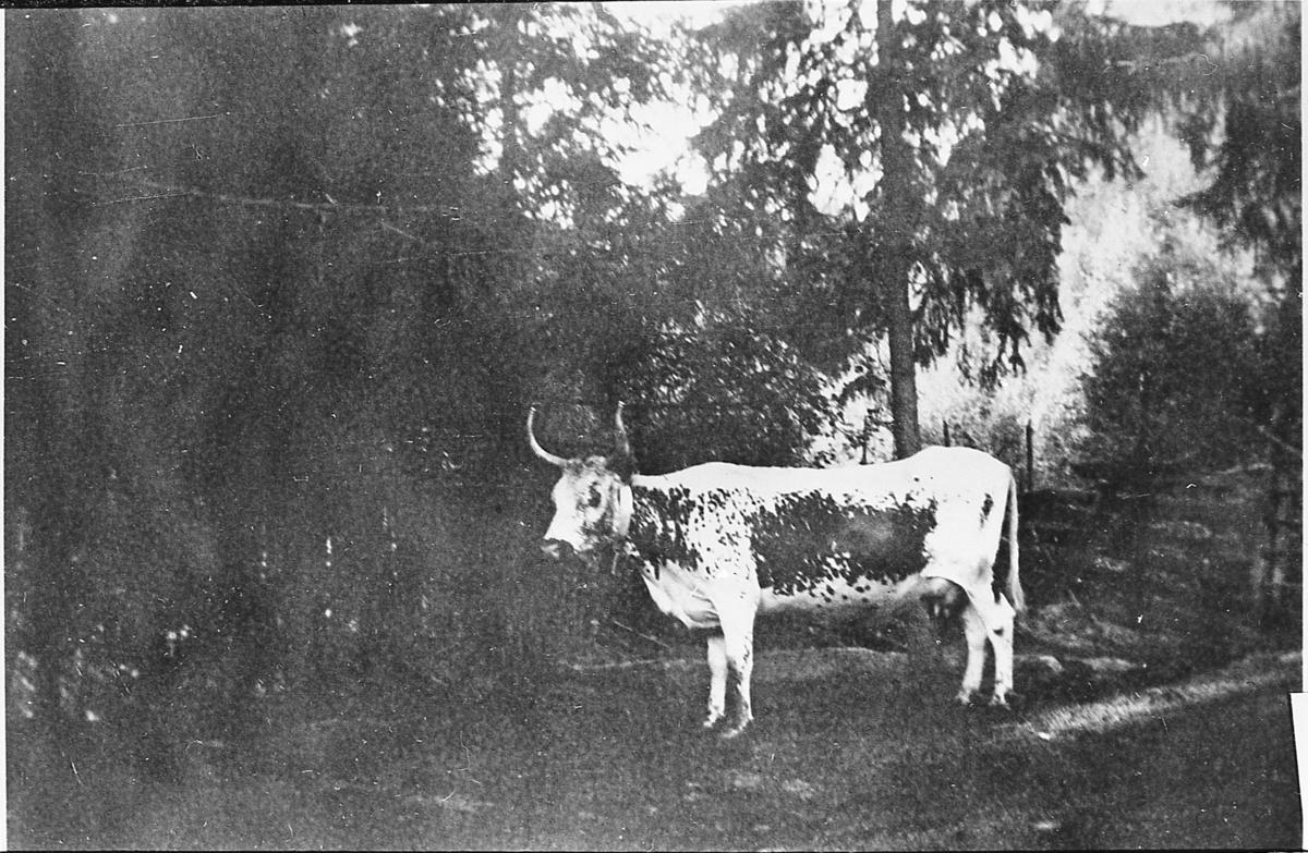 Telemarksku. Bjellekua Guldhorn. Fra Grønvold, omkring 1940.