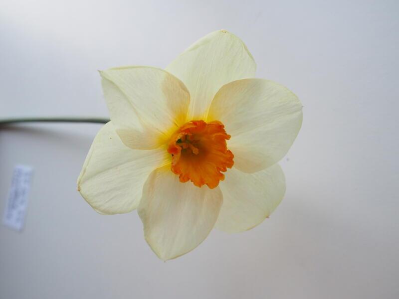 Narcissus 'Barrett Browning' (Foto/Photo)