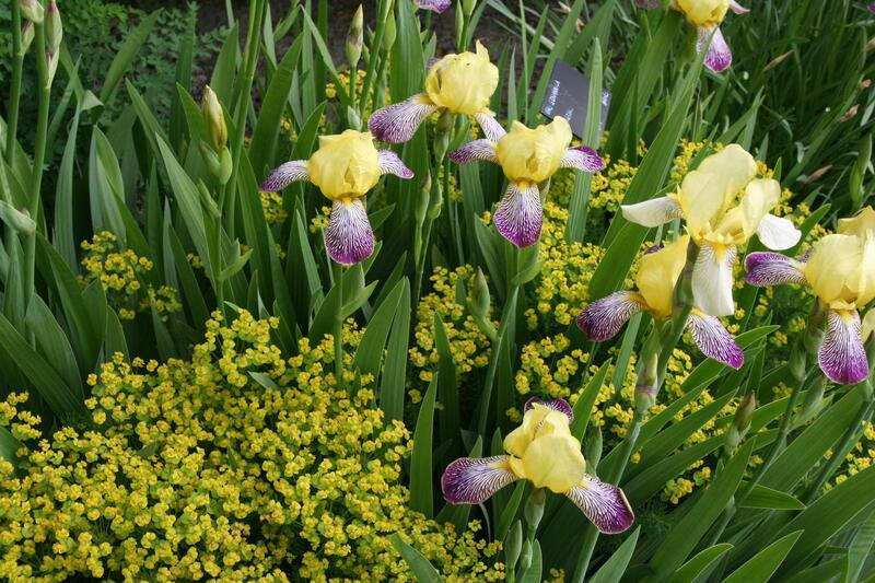 Iris 'Gracchus' i bed 10 (Foto/Photo)
