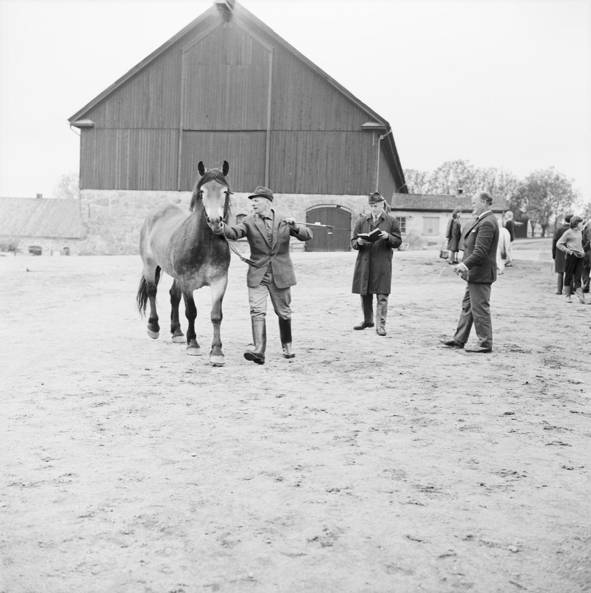 Lantbrukshögskolan, hästpremiering i Ultuna, Uppsala 1964