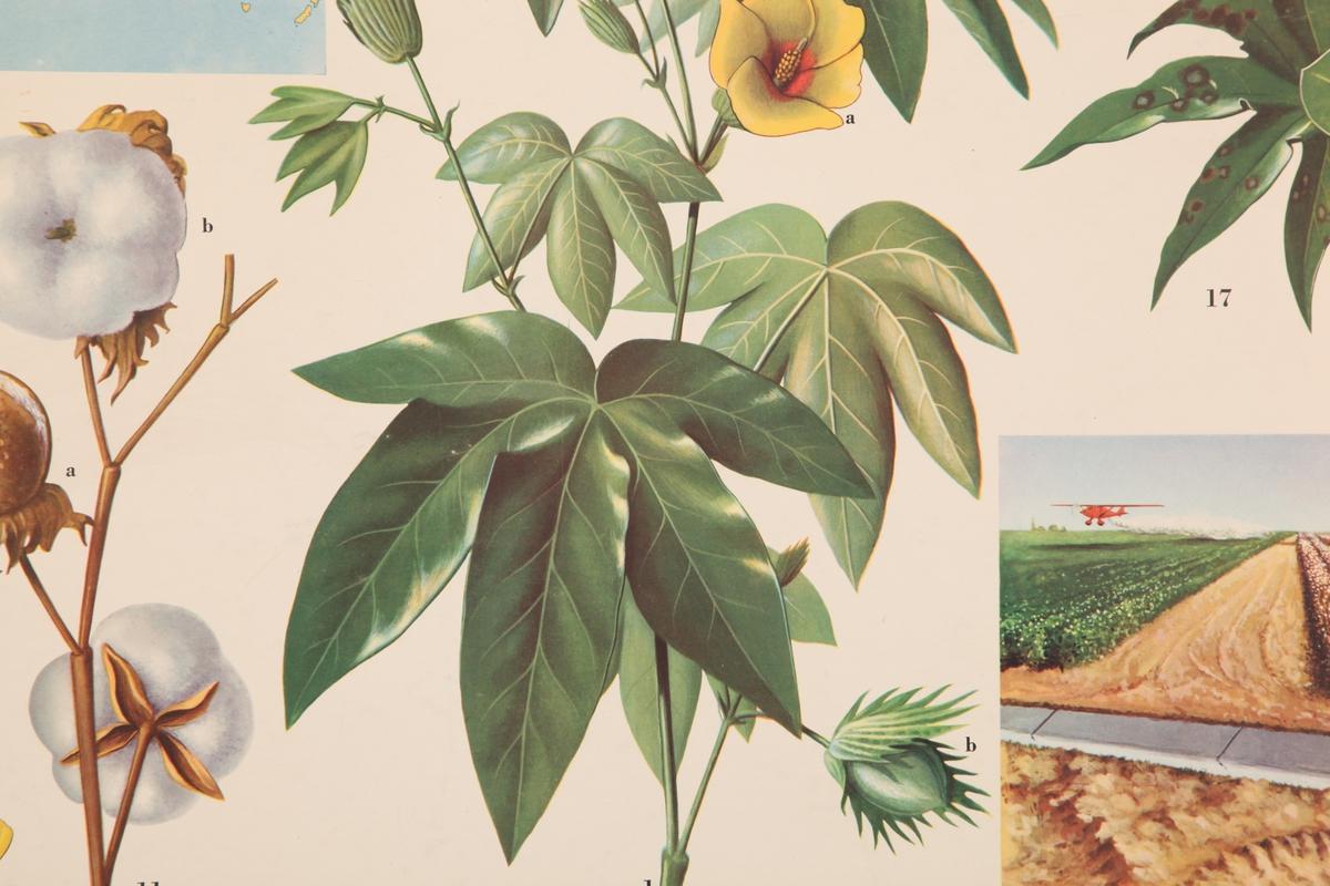 Bomullsplantens anatomi og utbredelse.