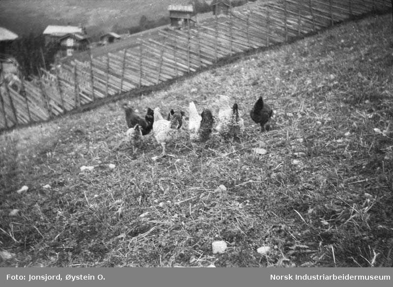 Høns på tur i Jonsjord, med utsikt mot nord.