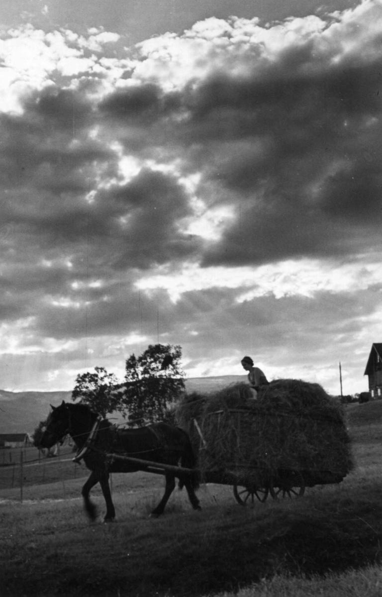 Hest trekker høylass, Norge.