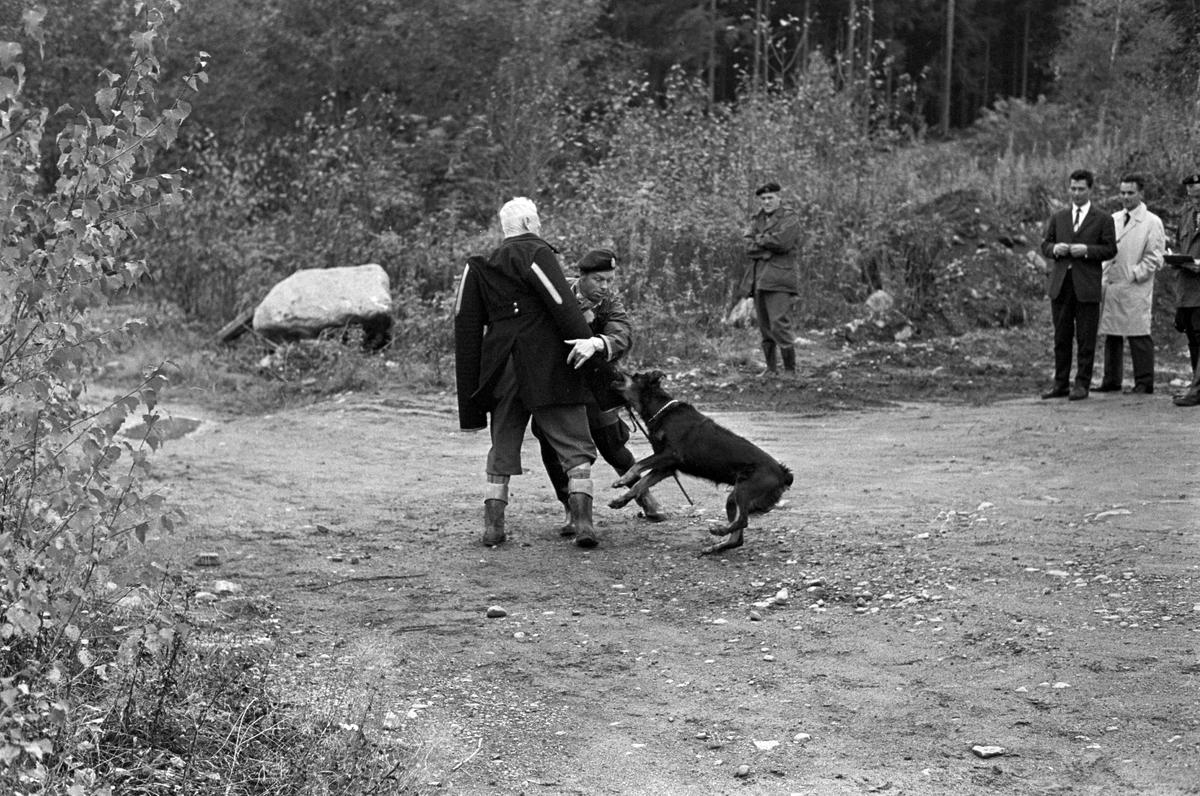 Rottweiler under opplæring. Trening av hunder ved Politiets Hundeskole på Ilseng ved Hamar i oktober 1961.