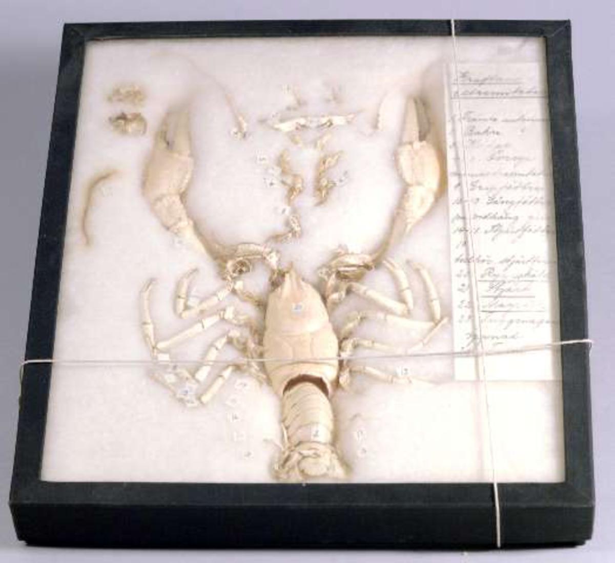Zoologiskt studiematerial. Konserverad kräfta på bomullsbädd. Medföljande text: Kräftans extremiteter. Numrerade och namngivna anatomiska detaljer.