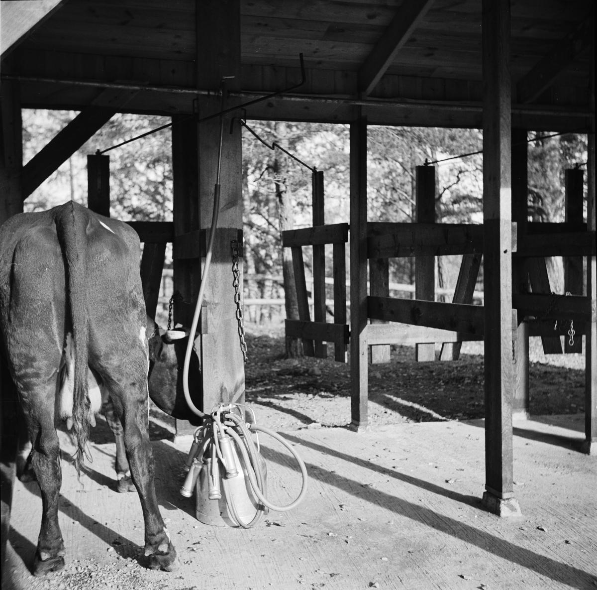 Mjölkning av kor på bondgård, sannolikt Uppland, 1937