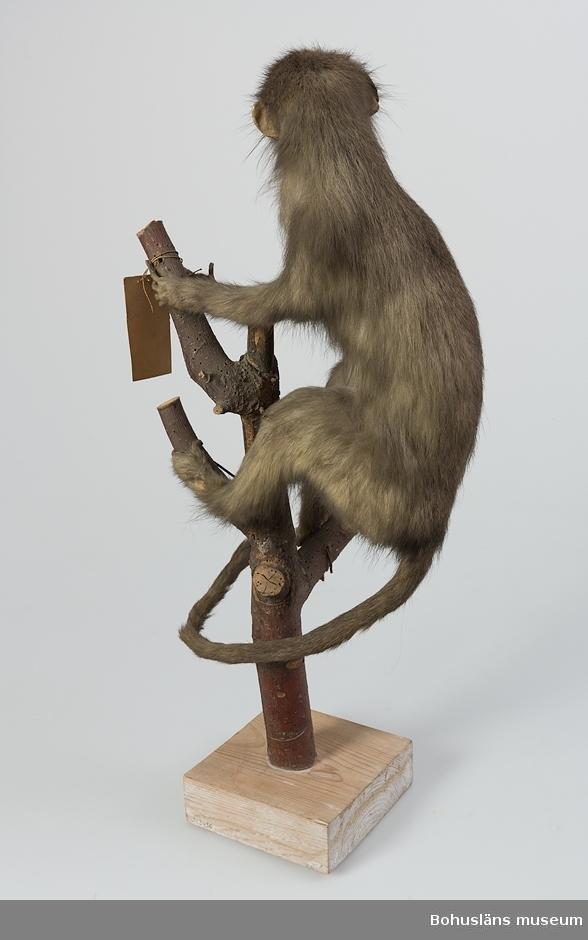 Ur handskrivna katalogen 1957-1958: Markatta Deponerad i Uddevalla läroverk. Uddevalla (död i fångenskap)  Kbc 1 VII 23:1 På äldre katalogkort framgår att apan är en hona.