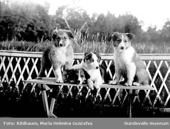 Porträtt av Maria kihlbaums Collievalpar. Hundar var hennes stora intresse, hon ställde ut på hundutställningar och vann flera fina priser.