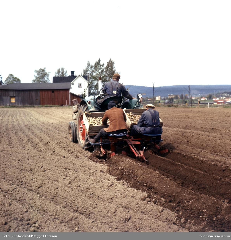 Potatissättning i Nacksta på någon av tomterna söder om järnvägen som numera ingår i Nacksta industriområde. Mangårdsbyggnaden i bakgrunden på första bilden har adressen Montörvägen 9 och står fortfarande (2016) kvar.
