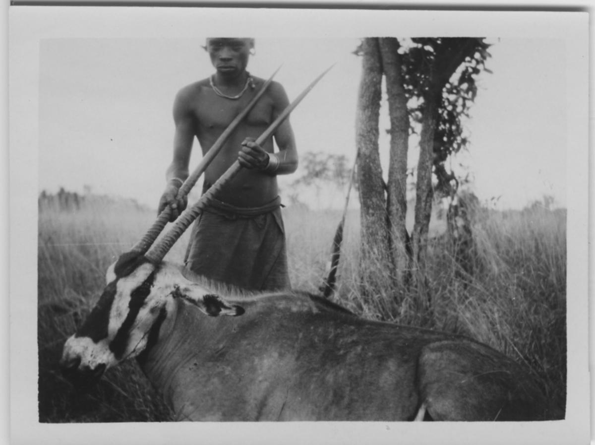 'Beisa (enligt baksidan av fotografiet), skjuten. 1 man håller upp huvudet genom att hålla i hornen. Stäpp. ::  :: Serie fotonr 1434-1449'