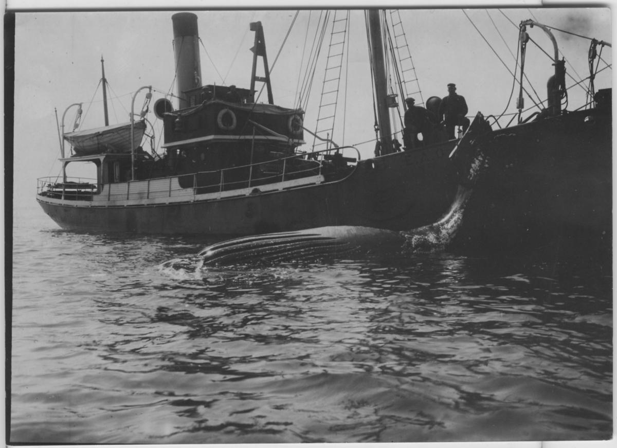 'Knölval, liggande död i vattnet vid båt (med bokstäverna E. A. O. på sidan). Ombord på båten 2 personer, livbåt. ::  :: Ingår i serie med fotonr. 4284:1-3.'