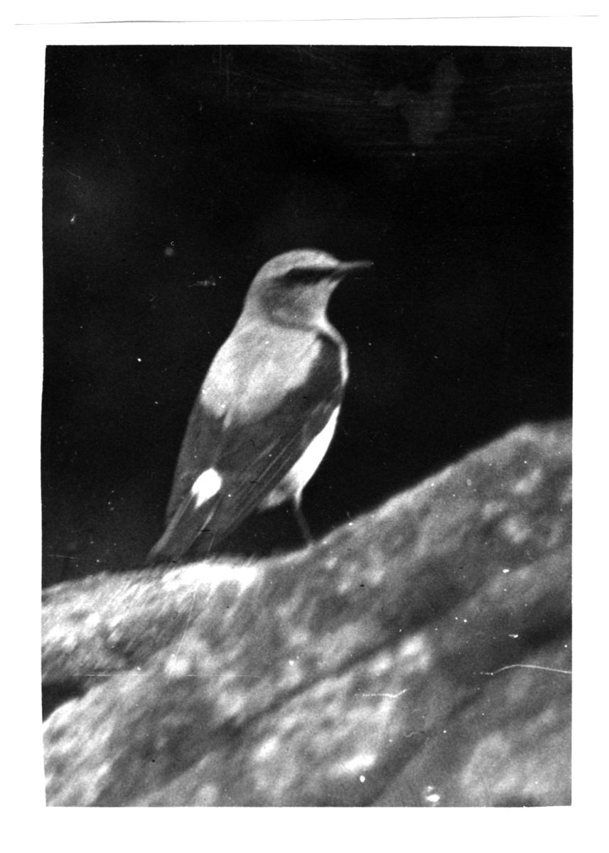 '1 st stenskvätta sedd snett från sidan. :: Text till fotot: ''Denna stenskvätta utgjorde min första fångst  som ...jägare.'' ::  :: Ingår i fotonr. 6995:1-51, dessa sitter i ett fotoalbum med tillhörande beskrivningar på norska.'