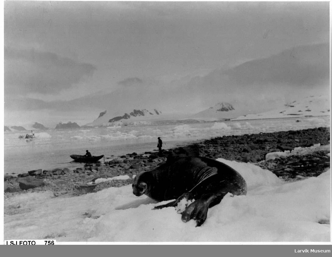 Sel på land, is og snø, to menn o g en liten robåt