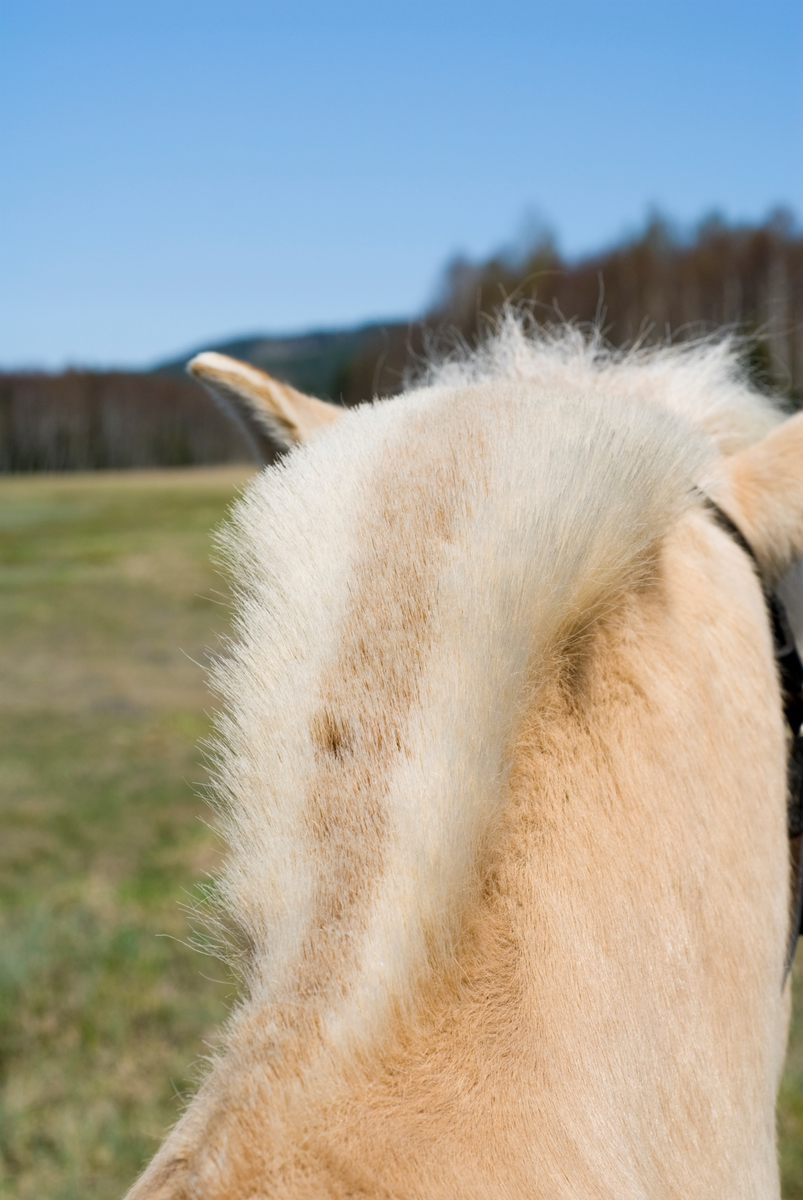 Hesteman på fjordhest