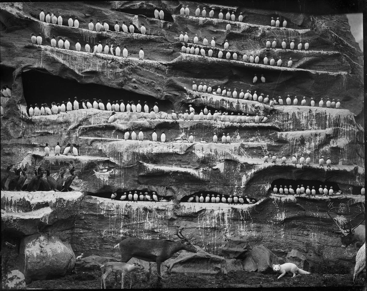 Diorama från Biologiska museets utställning om nordiskt djurliv i havs-, bergs- och skogsmiljö. Fotografi från omkring år 1900. Biologiska museets utställning Sillgrissla Uria Aalge (Pontoppidan) Lunnefågel Fratercula Arctica (Linnaeus) Skarv Storskarv Phalacrocorax Carbo (Linnaeus) Ren Rangifer Tarandus (Linnaeus) Fjällräv Vulpes Lagopus (Linnaeus) Hermelin Mustela Erminea (Linnaeus)