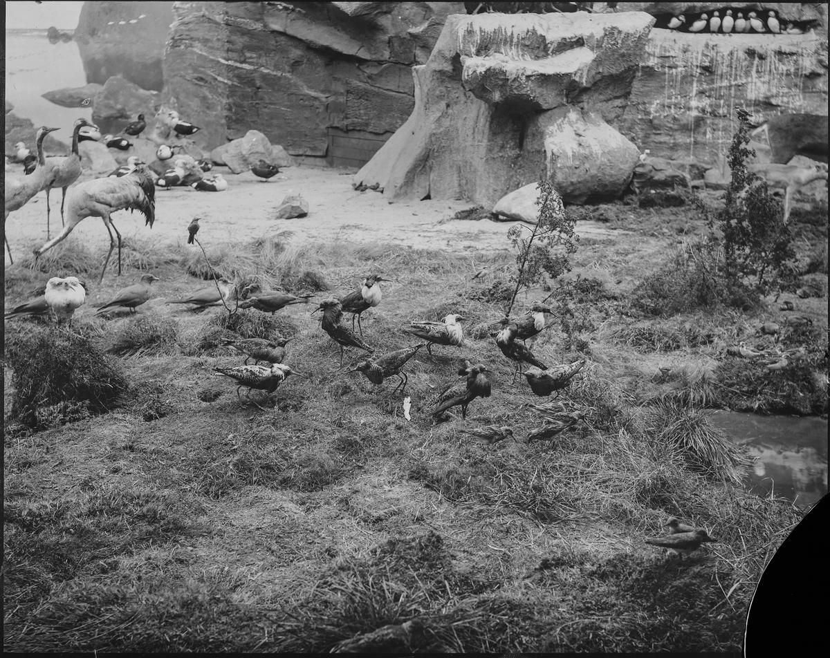 Diorama från Biologiska museets utställning om nordiskt djurliv i havs-, bergs- och skogsmiljö. Fotografi från omkring år 1900. Biologiska museets utställning