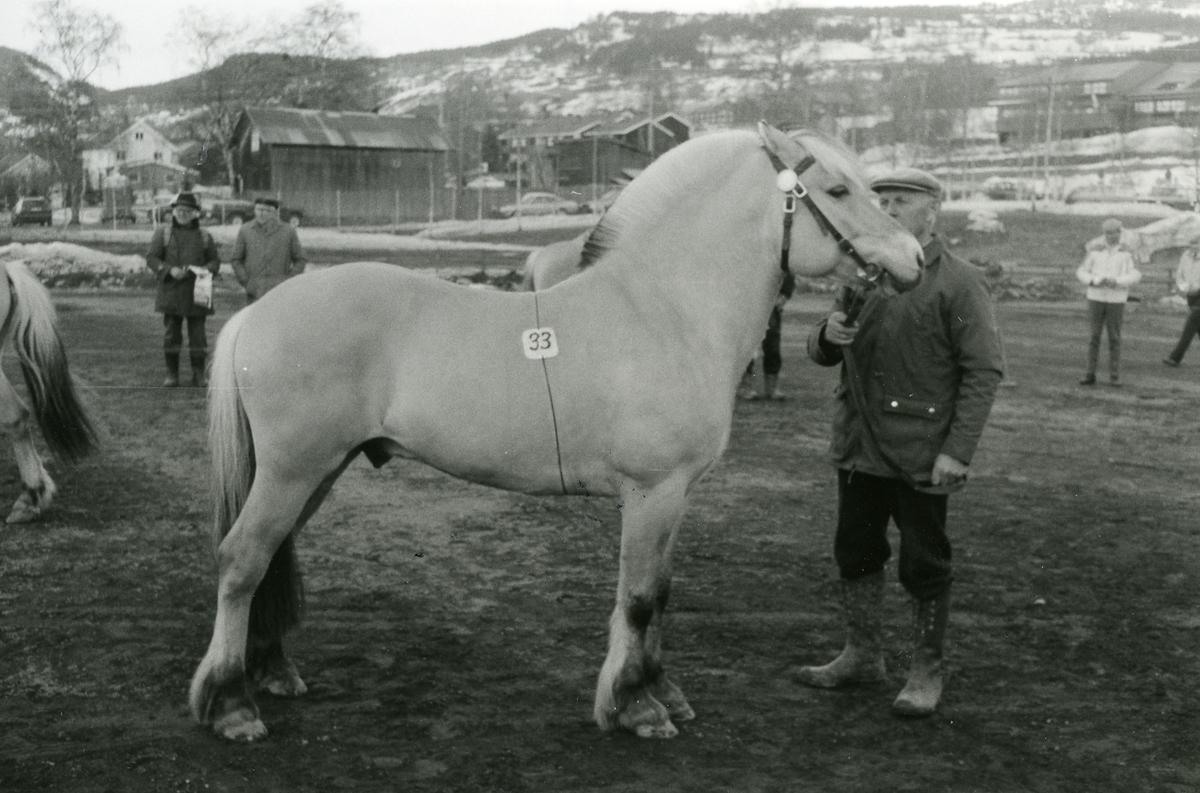 Tunsblakken 3 år. Hesten vart kjøpt av Telemark Hesteavlslag.