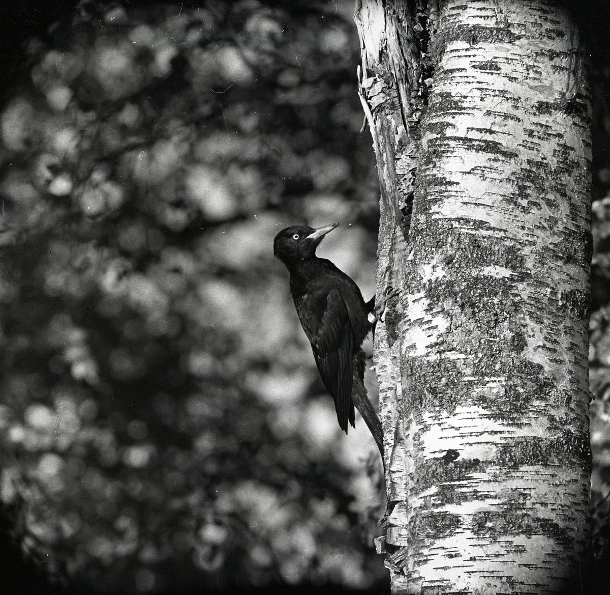 Med klorna inborrade i björkens bark sitter spillkråkan på trädet. Spillkråkan är fotograferad i profil där den sitter under en av trädets grenar. Ett grumligt lövverk anas i bakgrunden.