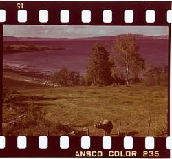 Ku i landskapet på Nesset.
